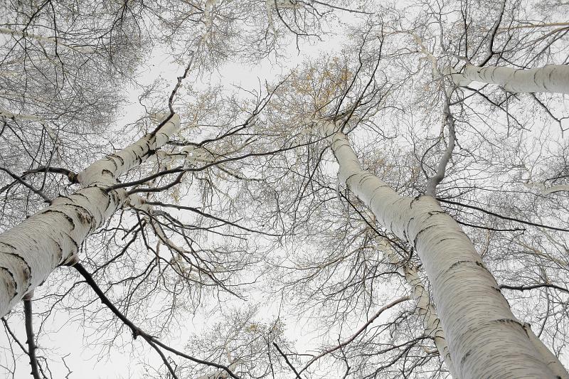 betula aetnensis